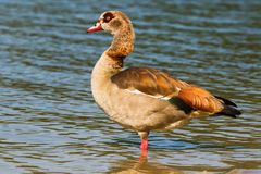 Alopochen aegyptiaca, goose of Egypt. Egyptian Goose on shore of Lake Stock Images