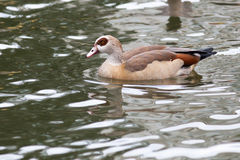 Alopochen aegyptiacus, Egyptian Goose. Russia, The Moscow Zoo Royalty Free Stock Photo