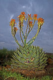 Aloès spiralé en fleur Photos libres de droits