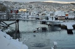 Alot of ducks swimming amongst snow covered boats Royalty Free Stock Images