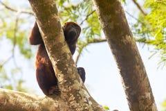 Alouatta Seniculus обезьяны ревуна стоковая фотография rf