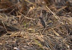 Alouette du Bengale buisson images stock