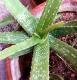 Alovera plant Royalty Free Stock Photos