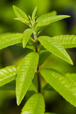 Aloysia citrodora Stock Photography