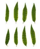 Aloysia triphylla (Lipia citriodora) Royalty Free Stock Image
