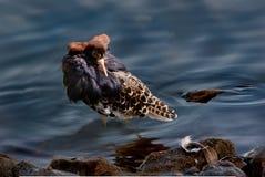 αρσενική χοντροσκαλίδρ&alp Στοκ Φωτογραφίες