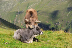 Alp cow. In Austria, Alps mountains royalty free stock images