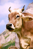 Alp Cow. Closeup of cow in the alps with flies flying around it stock photos
