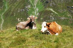 Alp Cows. Pictures of cows in the austrian alps (summer Royalty Free Stock Images
