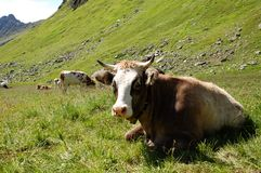 Alp Cows. Pictures of cows in the austrian alps (summer Royalty Free Stock Image