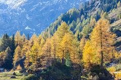 Alp forest Royalty Free Stock Photo