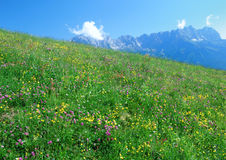 Alp pasture. A flowering meadow in austria with the Wilder Kaiser mountains in the background royalty free stock photos