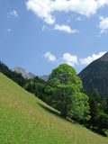 Alp with tree. A beautiful foliage tree in the mountains Stock Photo