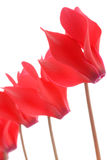Alpa viol. Red alpa viol flower, isolated against a white background Stock Photography