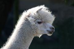 Alpaca. Or Llama with white wool and long hair over it's face Stock Photo