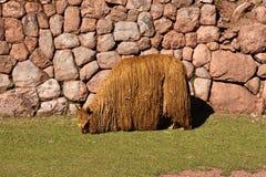 Alpaca Fotos de Stock Royalty Free