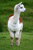 Alpaca. Front-on view of a tan and white alpaca standing in a lush green field stock images