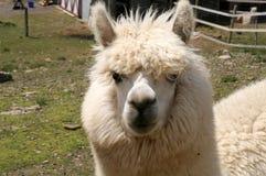 alpaca Royaltyfri Foto