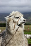 Alpaca. On a farm in the Andes Royalty Free Stock Photos