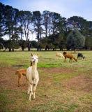 alpaca Arkivbilder