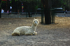 Alpaca. A alpaca in the zoo Royalty Free Stock Image