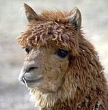 Alpaca 2 Stock Photography