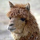 alpaca 2 Arkivbild