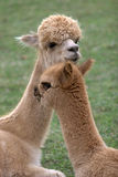 Alpaca 2 Royalty Free Stock Photography