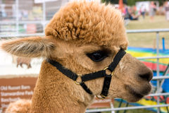 Alpaca Royalty Free Stock Image