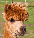 Alpaca. (Vicugna pacos) is a domesticated species of South American camelid. It resembles a small llama in appearance Royalty Free Stock Images