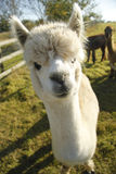 Alpaca. Friendly alpaca peering in to camera in rural setting in Suffolk Stock Images