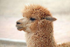 alpaca Arkivfoton