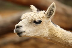 Alpaca. Portrait of an Alpaca with blurred background Stock Photos