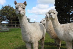 Free Alpaca Stock Photography - 28719862