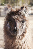 Alpaca Foto de Stock Royalty Free