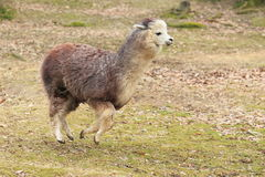 Free Alpaca Stock Photography - 29138022