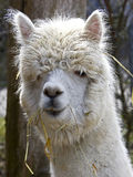 Alpaca 3 Stock Photos