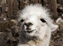 Alpaca Imágenes de archivo libres de regalías