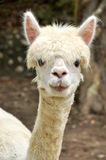 Alpaca fotografía de archivo