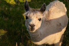 Alpaca Fotografia de Stock