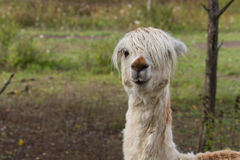 Alpaca. In the meadow, farm animal Stock Photography