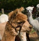 Alpaca Fotografie Stock Libere da Diritti