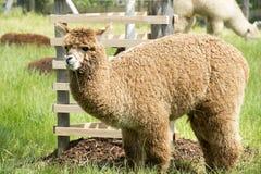 alpaca Imagen de archivo libre de regalías