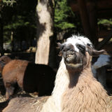 alpaca Fotos de archivo