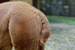 alpaca Fotos de archivo libres de regalías
