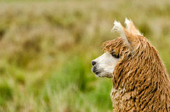 Free Alpaca Stock Photos - 47213733