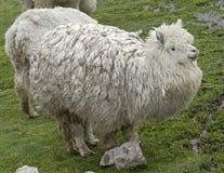 Alpaca 5 Stock Image
