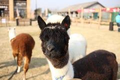 alpaca Stock Foto's
