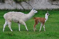 alpaca Fotos de Stock