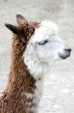 alpaca Imagem de Stock Royalty Free